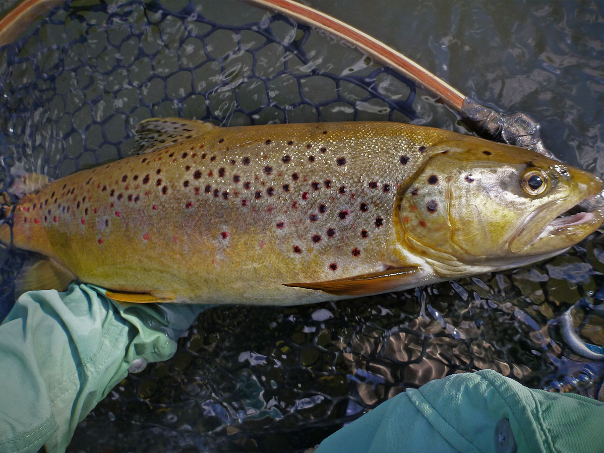 adrift_fly_fishing_labor_graphic_design_minneapolis_andy_weaverling_brown_trout_01b