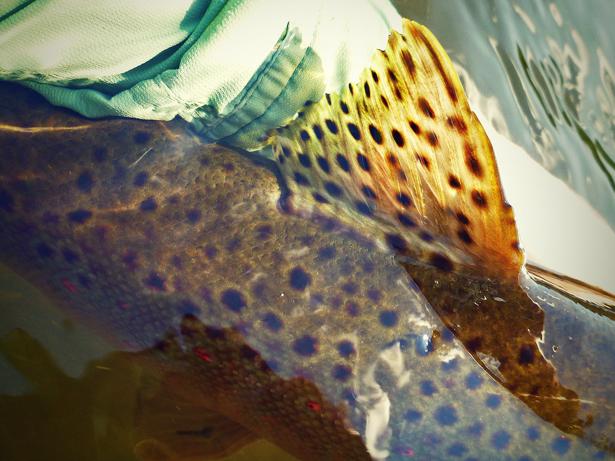 adrift_fly_fishing_labor_graphic_design_minneapolis_andy_weaverling_brown_trout_04