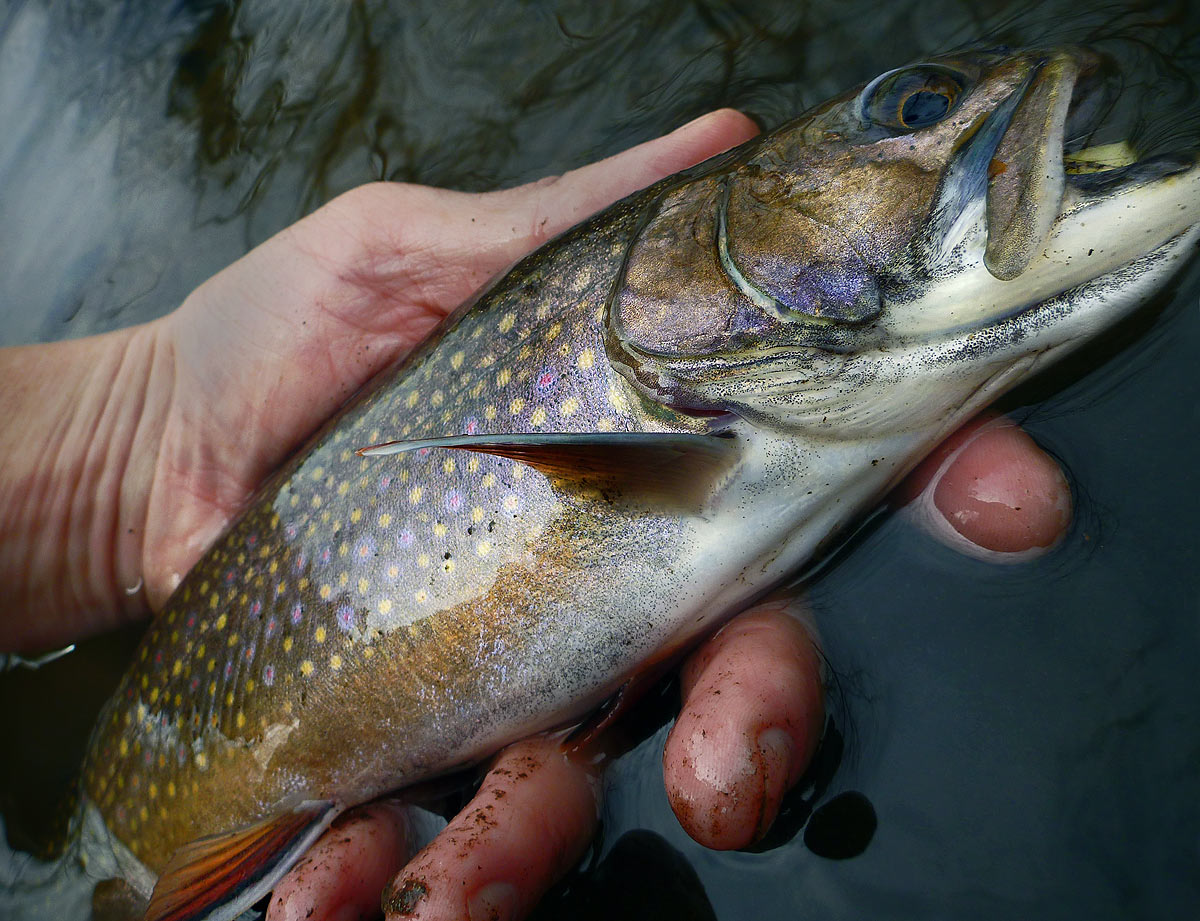 adrift_fly_fishing_labor_graphic_design_minneapolis_andy_weaverling_brook_trout_20