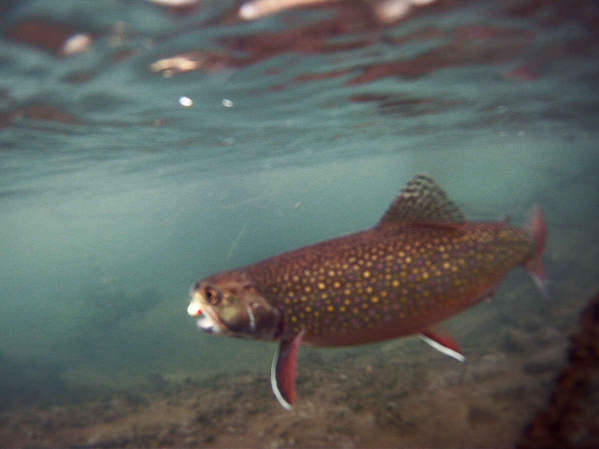 adrift_fly_fishing_labor_graphic_design_minneapolis_andy_weaverling_brook_trout_21