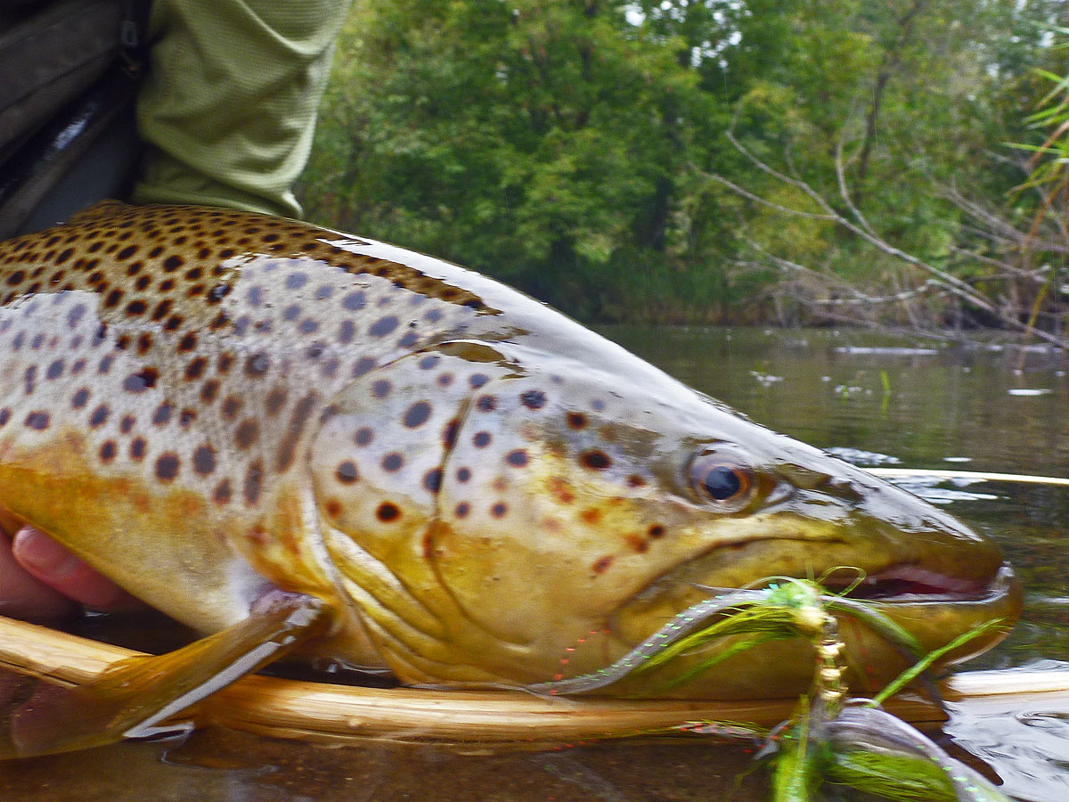 adrift_fly_fishing_labor_graphic_design_minneapolis_andy_weaverling_driftless_brown_trout_01d