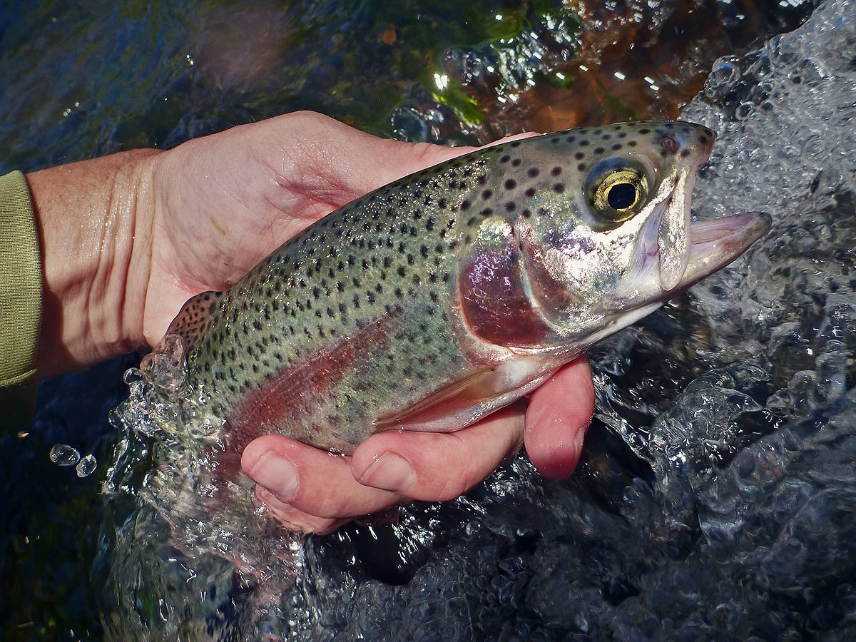 adrift_fly_fishing_labor_graphic_design_minneapolis_andy_weaverling_driftless_rainbow_trout_01