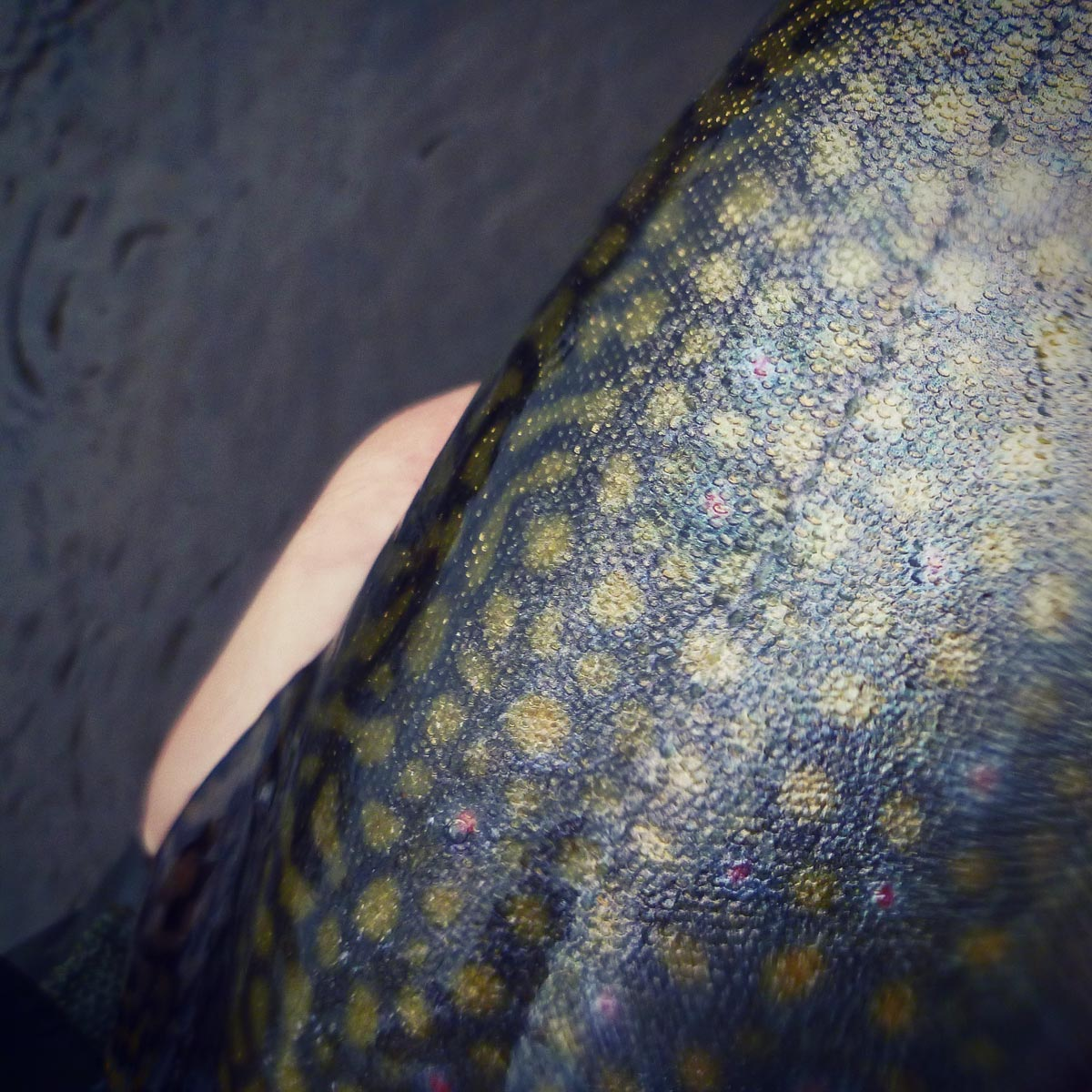 adrift_fly_fishing_labor_graphic_design_minneapolis_andy_weaverling_driftless_big_brook_trout_19